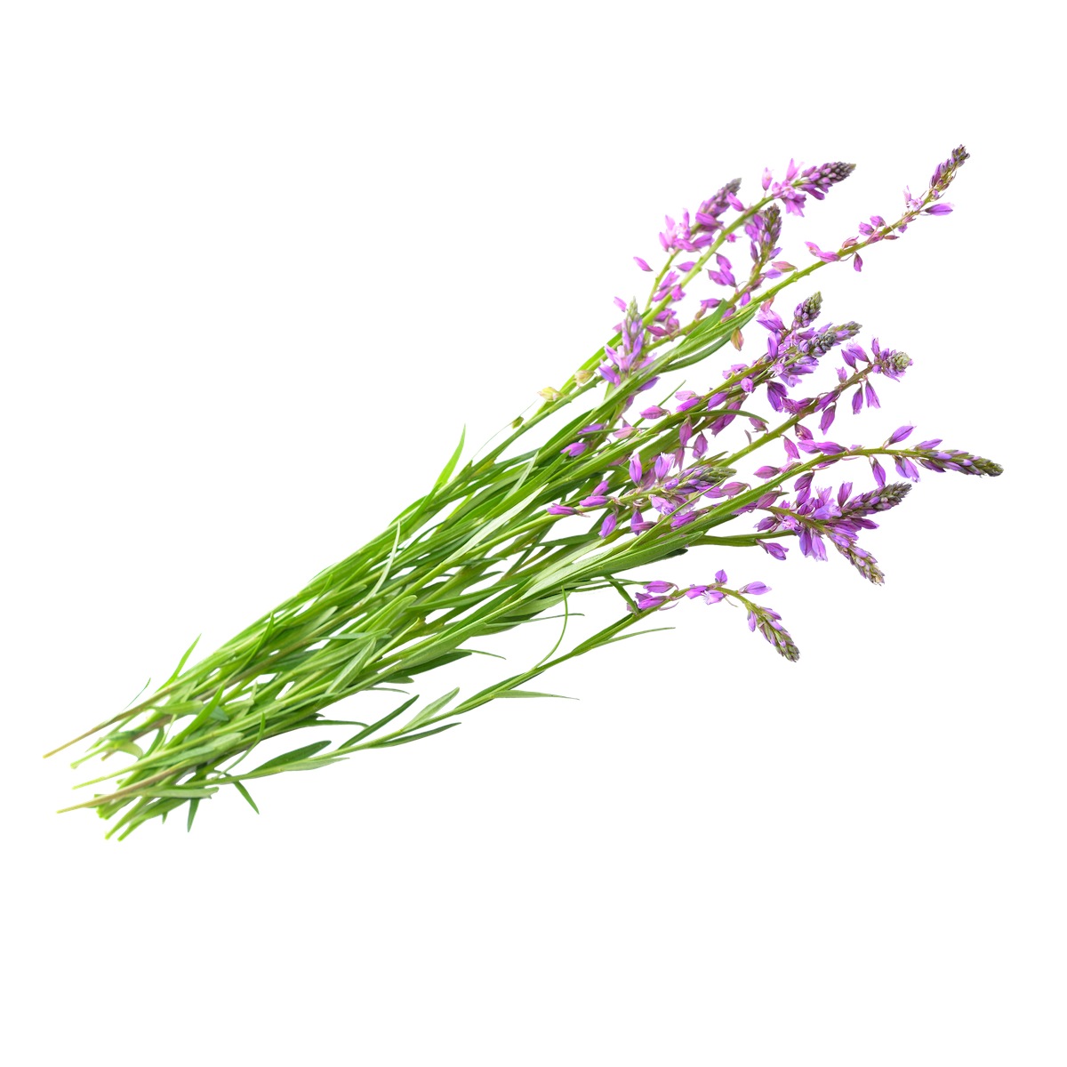 Polygala Benefits have been researched in nearly 500 studies.